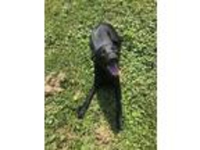 Adopt Keisha a Black - with White Pit Bull Terrier / Mixed dog in Watauga