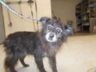Adopt a Black Border Collie / Mixed dog in Temple, TX (25204764)