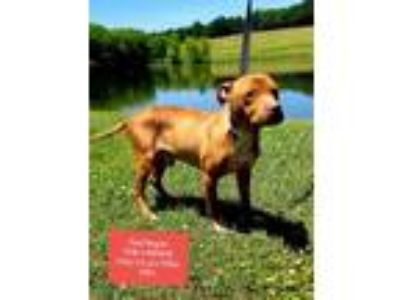 Adopt Red Wagon a Red/Golden/Orange/Chestnut American Pit Bull Terrier / Mixed