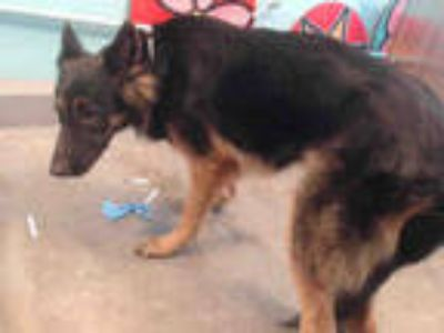 Adopt ROCKY a Brown/Chocolate - with Black German Shepherd Dog / Mixed dog in