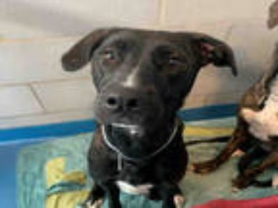 Adopt SOFIE a Brindle American Pit Bull Terrier / Greyhound / Mixed dog in