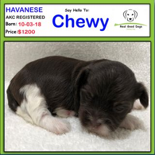 Havanese PUPPY FOR SALE ADN-102741 - Chewy
