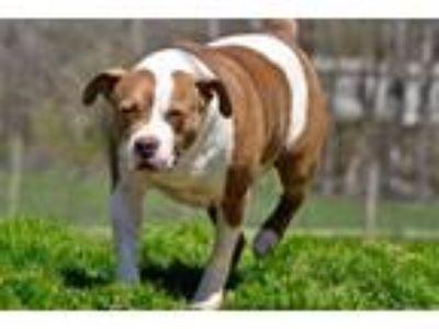 Adopt Frasier a Pit Bull Terrier