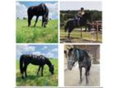 Craigslist - Horses for sale Classifieds in Somerset, Pennsylvania