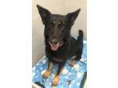 Adopt Eclipse a Black German Shepherd Dog / Mixed dog in Wellsville