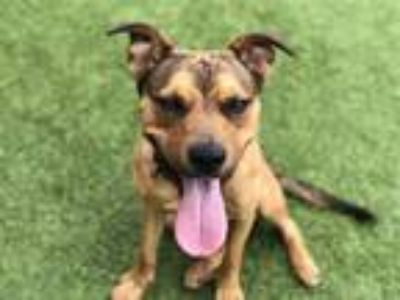 Adopt ANDY a Brown/Chocolate - with Black Labrador Retriever / Mixed dog in