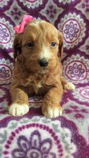 Goldendoodle PUPPY FOR SALE ADN-75131 - F2b Maribelle