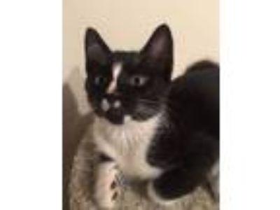 Adopt Skunk a Tuxedo, Domestic Short Hair