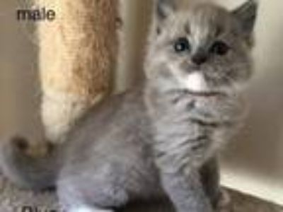 Kittens - Lockport Classifieds - Claz org