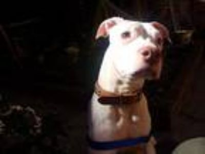 Adopt Taako a White American Pit Bull Terrier / Mixed dog in Brooklyn