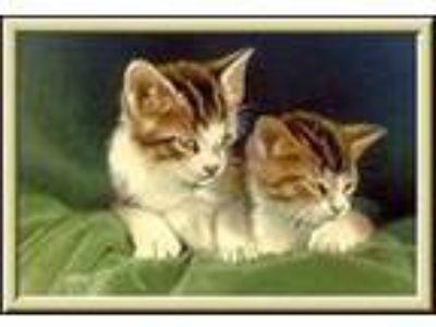 Adopt Kitten Availabilit a Tuxedo, Domestic Short Hair