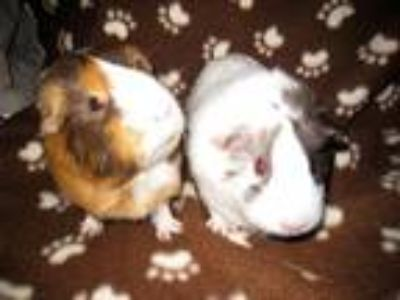 Adopt Hilda and Mayci a Multi Guinea Pig (short coat) small animal in Monrovia