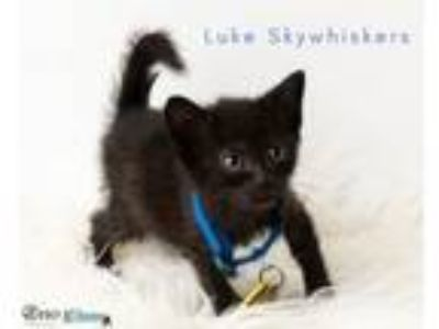 Adopt Luke Skywhiskers a Domestic Short Hair