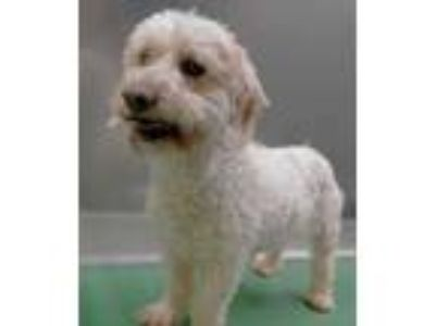 Adopt Annabell a White Poodle (Miniature) / Mixed dog in The Colony