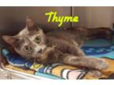 Adopt Thyme a Domestic Shorthair / Mixed cat in Youngsville, NC (25641986)