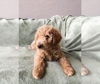 Poodle (Standard) PUPPY FOR SALE ADN-129985 - AKC Standard Poodle Pups