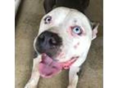 Adopt Bruce a Gray/Silver/Salt & Pepper - with Black American Pit Bull Terrier