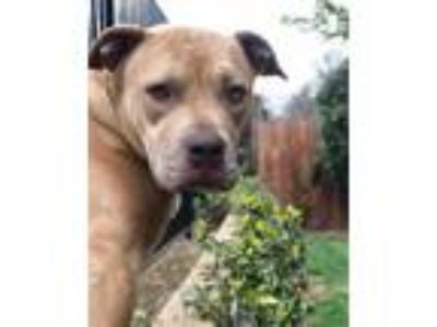 Adopt Nala a Tan/Yellow/Fawn American Pit Bull Terrier / Mixed dog in Crestline