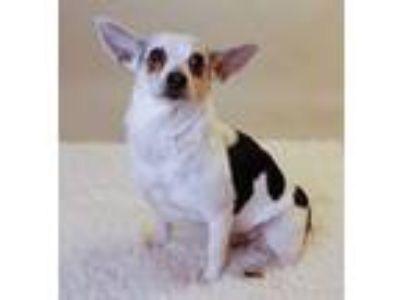 Adopt Mico # 1684 a Rat Terrier, Jack Russell Terrier
