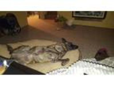 Adopt Sol a Brindle Dutch Shepherd dog in Seattle, WA (25363212)