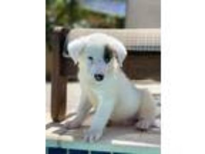 Adopt Mario a White - with Brown or Chocolate Golden Retriever / Labrador