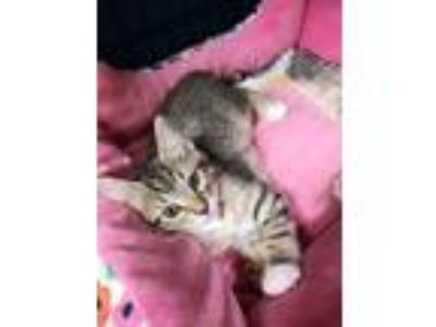 Adopt Percival Kitten 2 (Tiger) a Domestic Short Hair