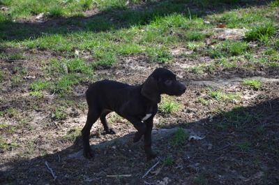 German Shorthaired Pointer PUPPY FOR SALE ADN-75115 - AKC German Shorthaired Pointer puppies