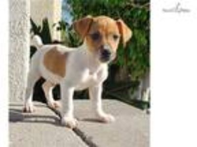 NEUTERED Jack Russell Terrier Puppy! microchipped