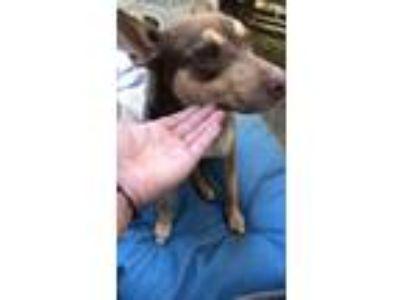 Adopt Hope a Brown/Chocolate Doberman Pinscher / German Shepherd Dog dog in