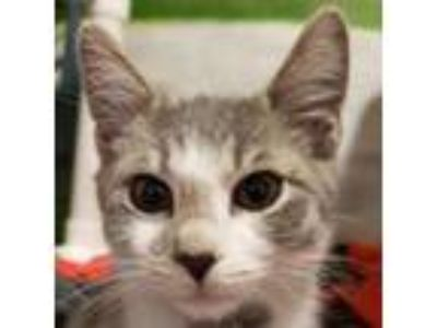 Adopt Nicoise a Gray or Blue Domestic Mediumhair / Domestic Shorthair / Mixed