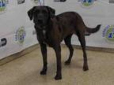 Adopt SAMMY a Labrador Retriever, Mixed Breed