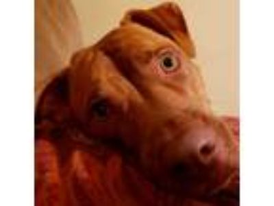 Adopt Sophie a Brindle - with White American Pit Bull Terrier dog in