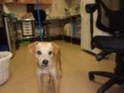 Adopt 41933959 a Tan/Yellow/Fawn Terrier (Unknown Type, Small) / Mixed dog in