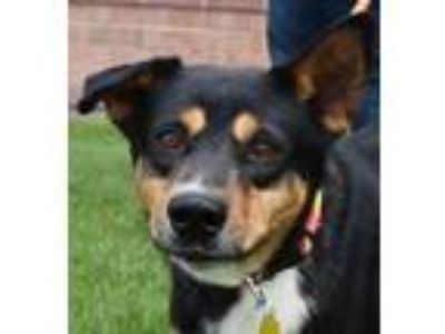 Adopt Twix - Foster or Adopter Needed a Border Collie, German Shepherd Dog