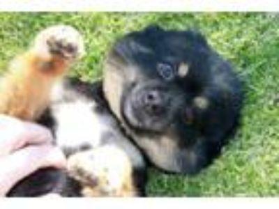 Adopt Jonesy a Pomeranian