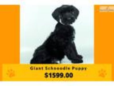 Giant Schnoodle Puppy | Female