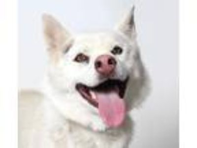 Adopt Willow a White Husky / Mixed dog in Los Angeles, CA (25908386)