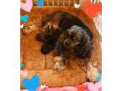 Adopt Savannah & Pups a Cocker Spaniel / Mixed dog in Flushing, NY (25870402)