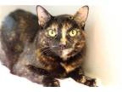 Adopt Coffee Cat a Domestic Shorthair / Mixed cat in Pittsburgh, PA (25879953)