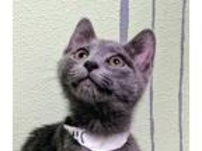 Adopt Jinx a Gray or Blue Domestic Shorthair (short coat) cat in Elyria