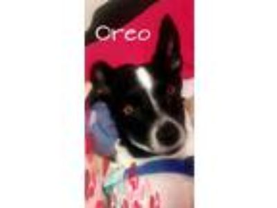 Adopt Oreo/CP a White - with Black Rat Terrier / Mixed dog in Columbia