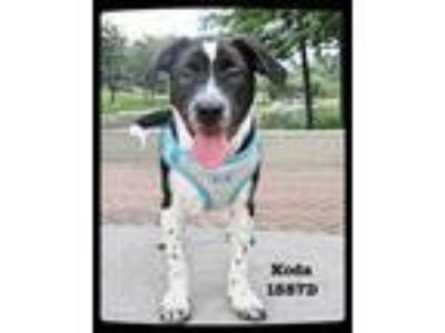 Adopt Koda a Border Collie / Terrier (Unknown Type, Small) / Mixed dog in