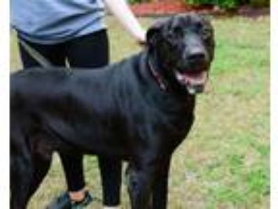 Adopt Cash a Great Dane, Labrador Retriever
