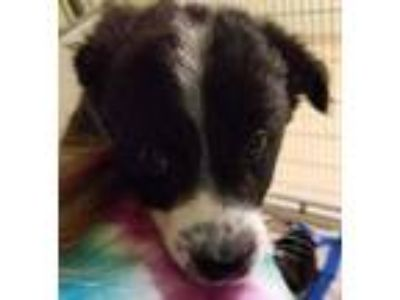 Adopt Stevie Nicks a Black Border Collie / Mixed dog in Noblesville