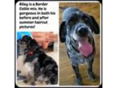 Adopt RILEY a Black - with White Border Collie / Mixed dog in Malvern