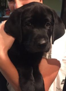 Labrador Retriever PUPPY FOR SALE ADN-95465 - Beautiful AKC Lab Puppy looking for Forever Family