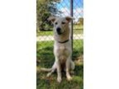 craigslist animals and pets for adoption classifieds in wichitaadopt darla a tan yellow fawn husky mixed dog in wichita falls,