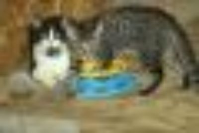 Pippa and Pixie Kittys !!! American Shorthair Cat