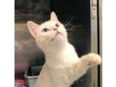 Adopt STAR a White (Mostly) Siamese / Mixed (short coat) cat in West Valley