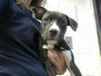 Adopt BABY a Brown/Chocolate - with White Labrador Retriever / Mixed dog in